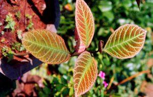 Thuốc trị đau dạ dày hiệu quả bằng cây khôi