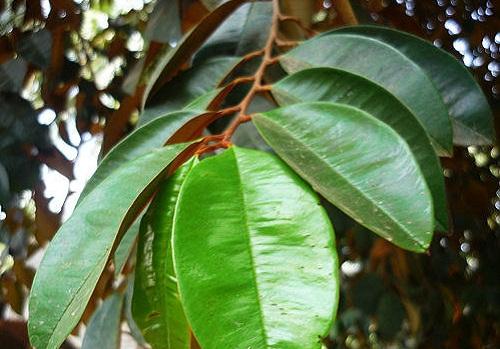 Cách chữa bệnh dạ dày bằng lá cây vú sữa