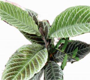 Bài thuốc chữa bệnh viêm hang vị dạ dày hiệu quả bằng lá khôi tía